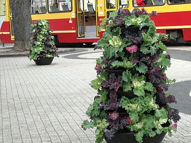 Kwietniki na Placu Kilińskiego koło pętli tramwajowej (foto3)